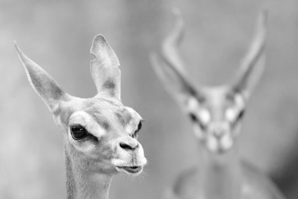 D Walters antelope