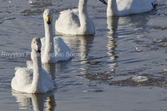 hooper swans