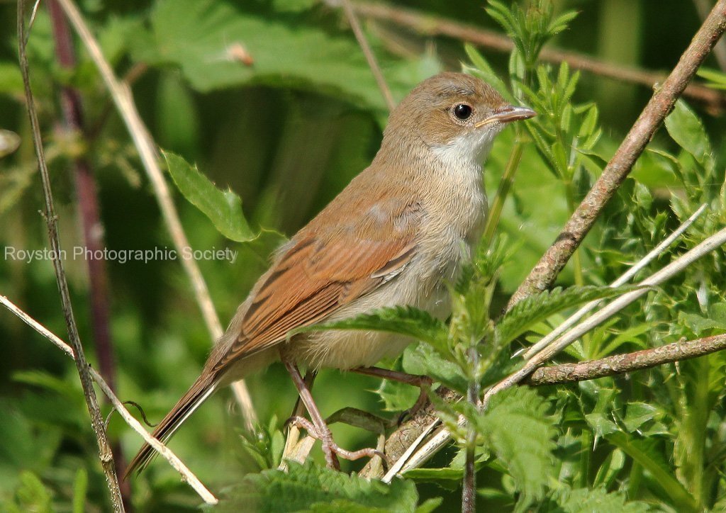 juvenile white throat best