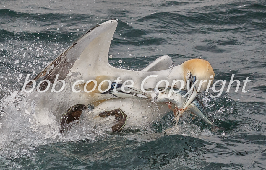 Bob Coote - Feeding Gannets 1