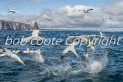Bob Coote - Feeding Gannets 2