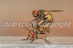 House-flies-mating - Bob Coote
