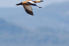 06bx_4085_ruddy_shelduck_400pix