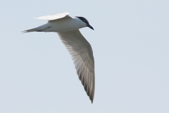 13dx_5717_Gull-billed_Tern_600pix