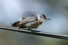33bx_4127_kruppers_nuthatch_600pix