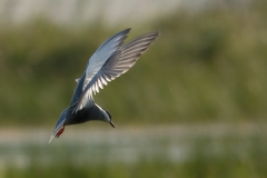 13bx_5483_Whiskered_Tern_600pix