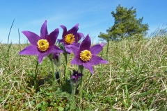 10 Pasque Flowers Church Hill MJ
