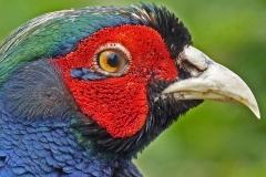 3 Pheasant Profile MJ