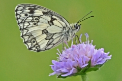 6 Marbled White on Scabious MJ