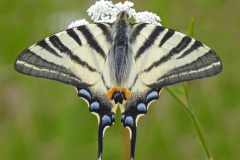 7 Scarce Swallowtail MJ