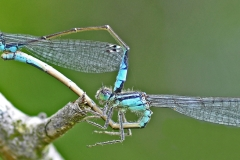 9 Azure Damselflies Mating MJ