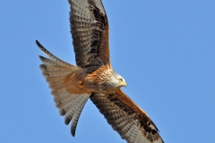 2 Red Kite in Flight MJ