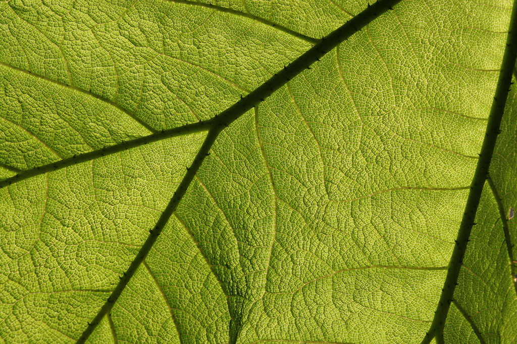 Sun through a leaf