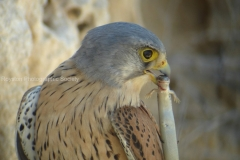 kestral and lizzard