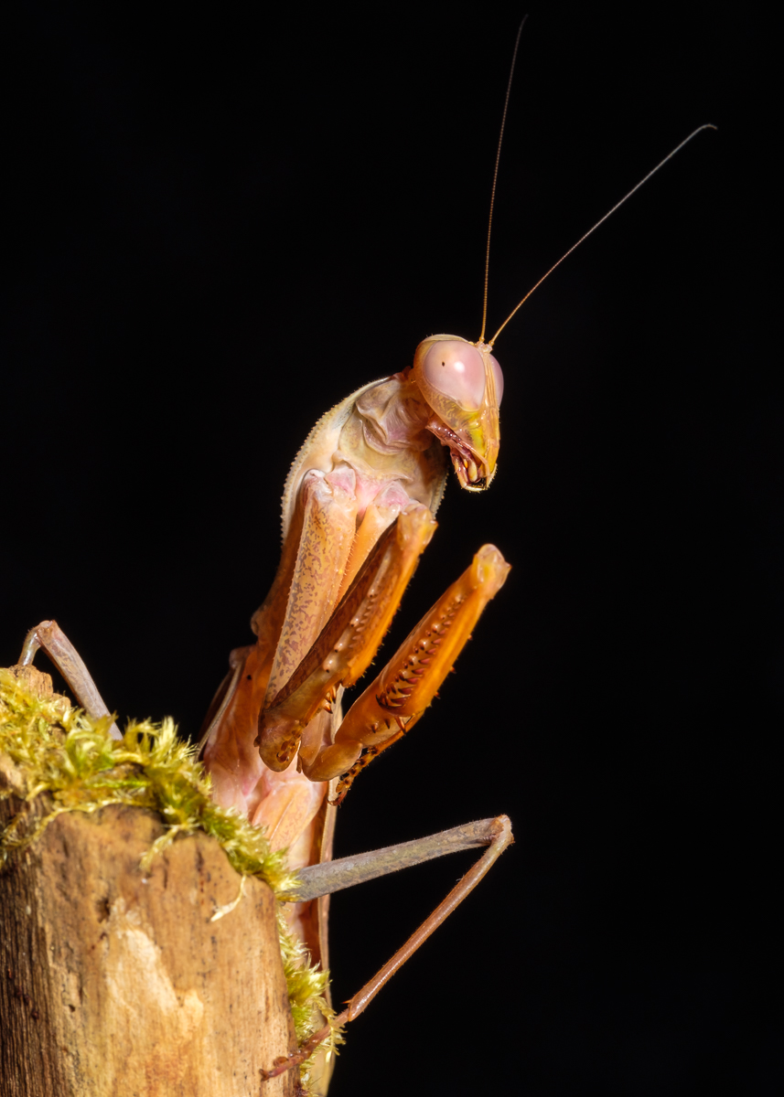Asian Mantis - Andrew Colgan
