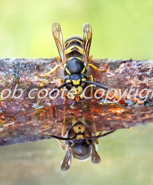 Wasp-Drinking - Bob Coote