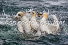 Bob Coote - Feeding Gannets 3