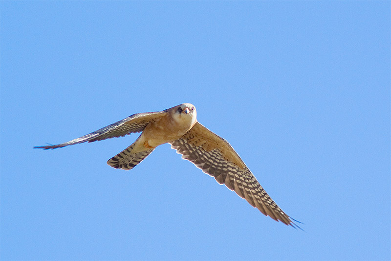 17_0335_Red-footed_falcon