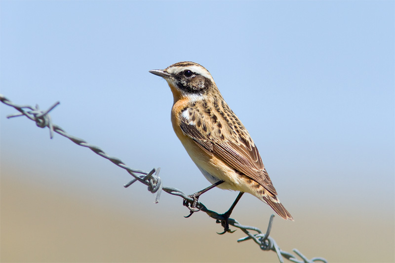 28_1015_whinchat_800pix