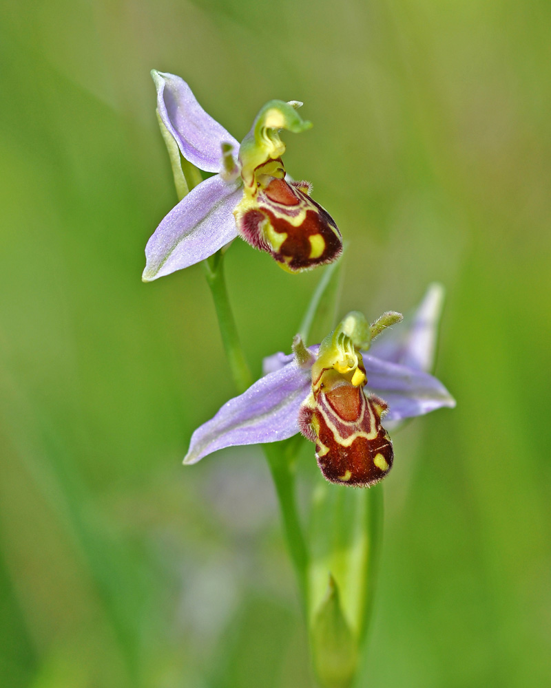 11 Bee Orchid MJ