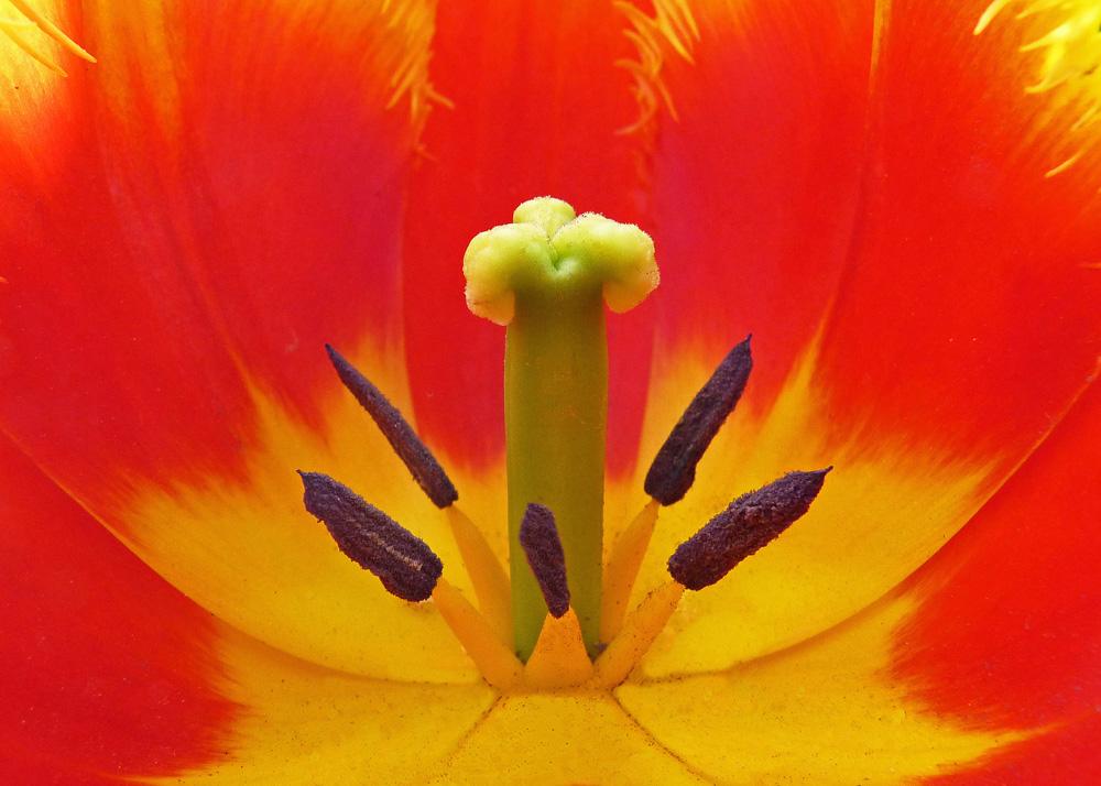 13 Tulip Flower Centre MJ
