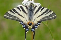 7 Scarce Swallowtail MJ