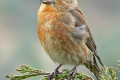 1 Common Crossbill MJ