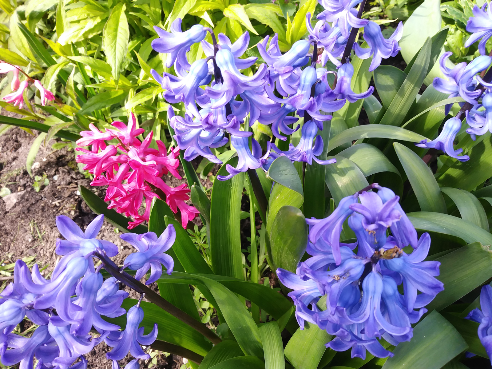 Hyacinth to brighten our spring