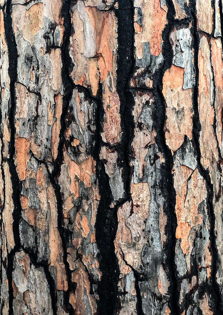 Stone Pine bark Pompeii