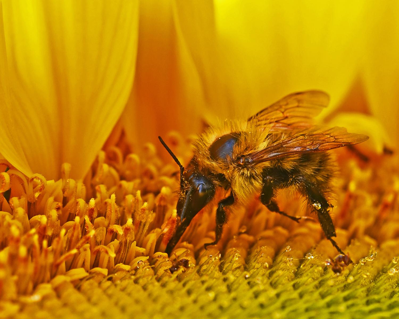 Bumble Bee on Sunflower Head