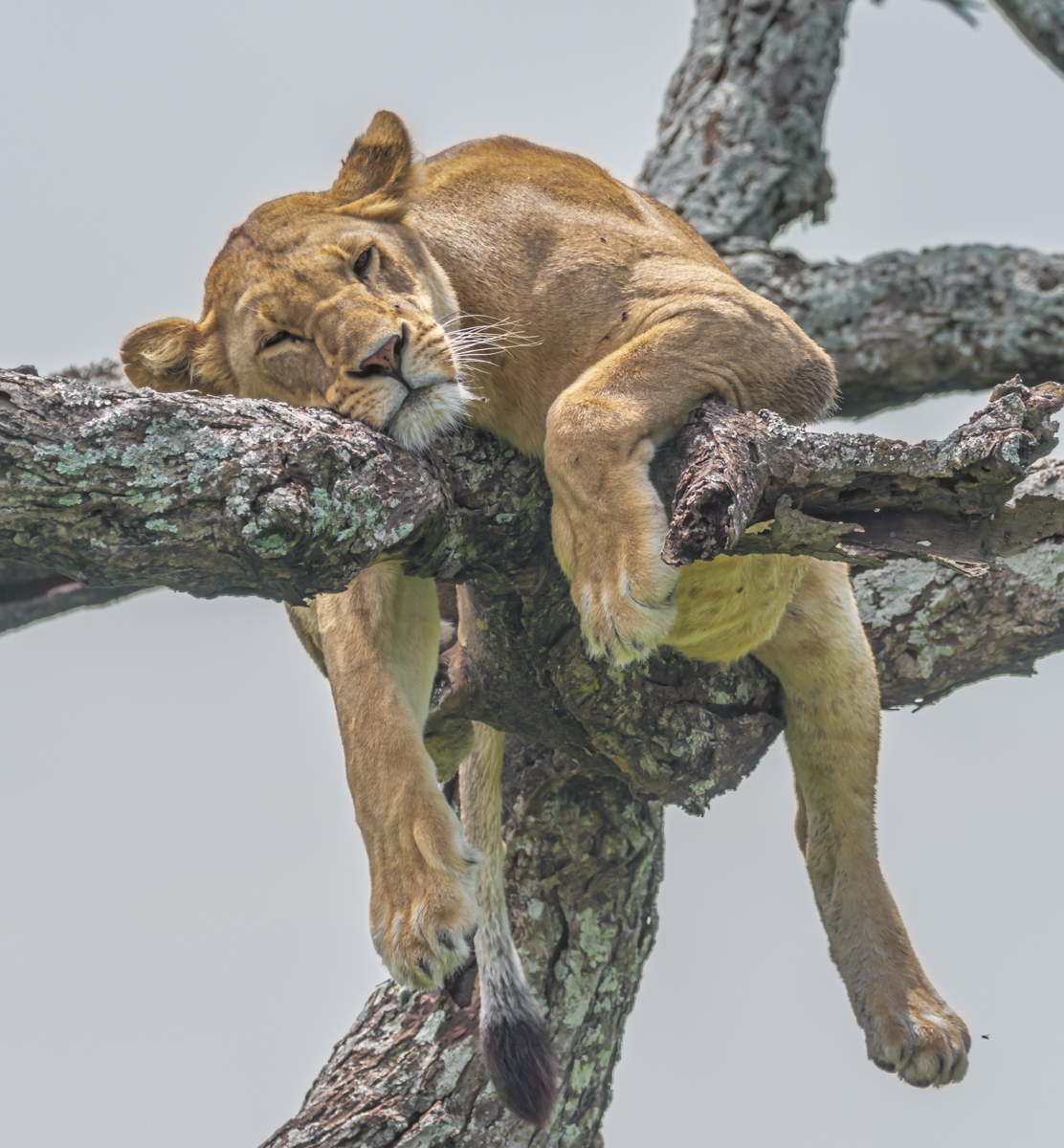 Snoozing Lioness
