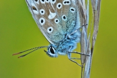 Chalkhill Blue Butterfly on Grass Stem