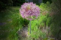 3. Allium