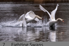 8. Fighting Swans`