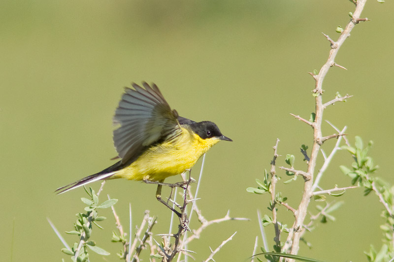 14_0367_black-h_wagtail