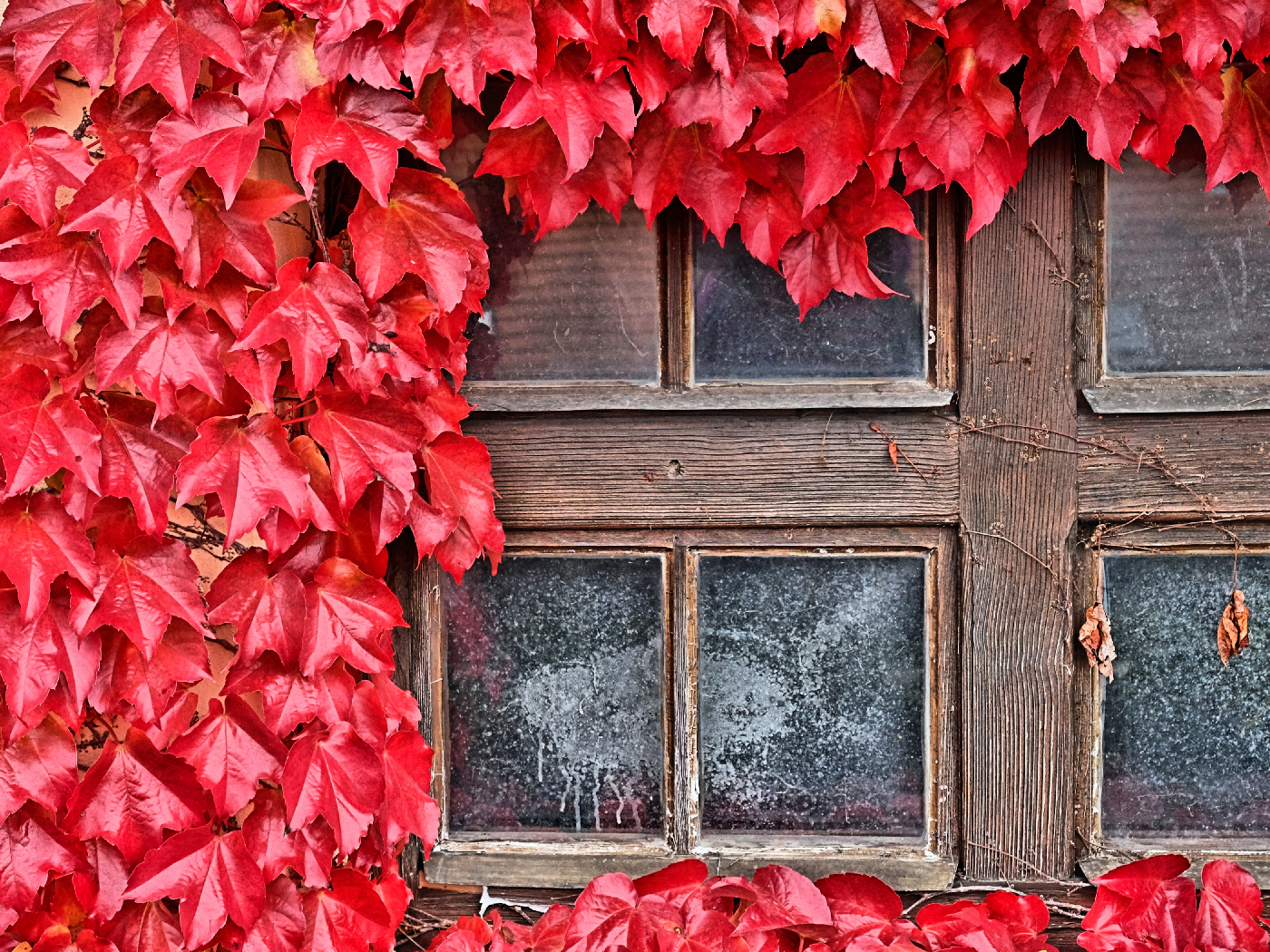 Old Window with Red Vine