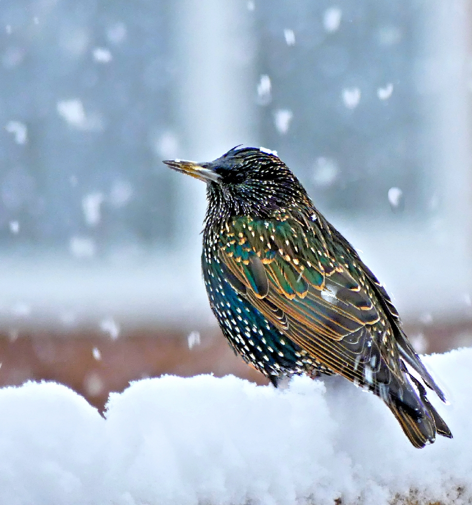 Starling in snow